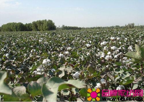 河北衡水籽棉价格_河北力争棉花面积在800万亩以上
