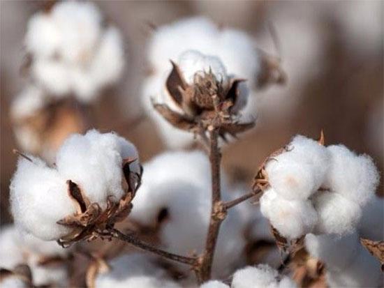 预计2017-2018年度全球棉花产量将增长
